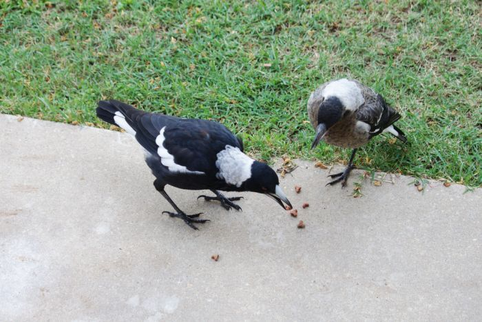 Two magpies eating dry dog biscuits off a concrete pathway.